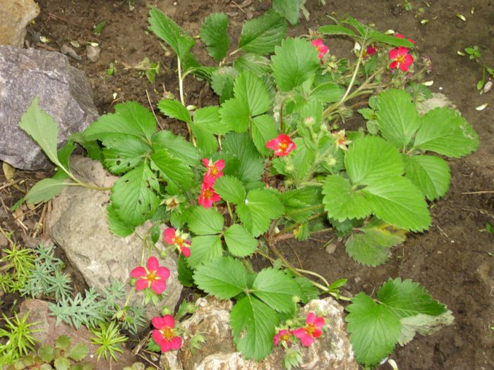 Wild strawberries johns random thoughts and discussions we noticed something odd about the flowers this year not only are they more plentiful but theyre also a darker pink than ever before mightylinksfo