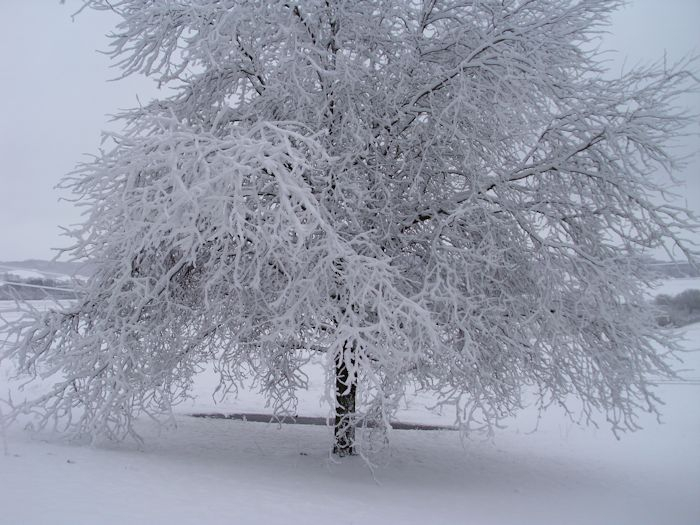 A honey locust tree draped with snow.