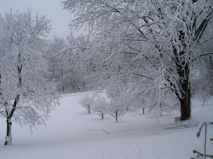 Maples and an apple orchard (background) draped with snow.