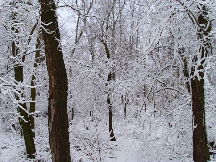 A group of trees in the woods draped with snow.