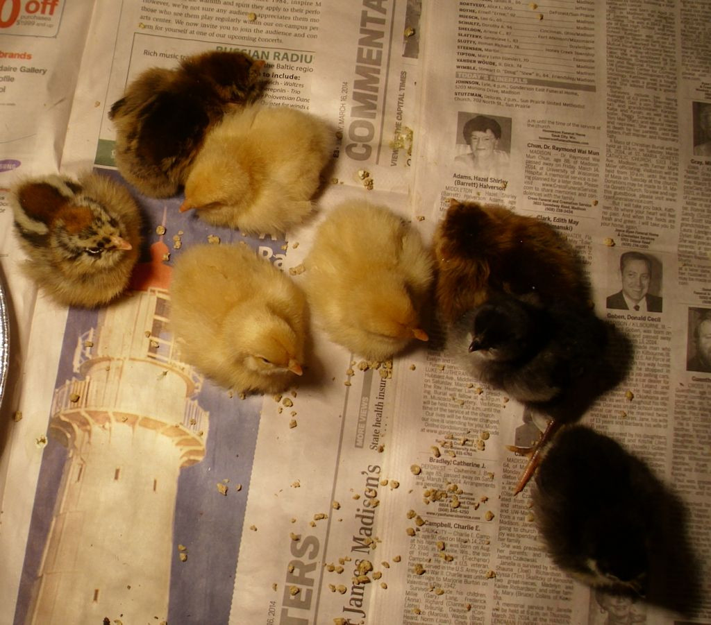 Eight chicks will make the coop fuller.