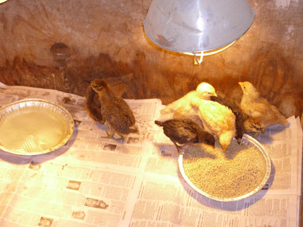 Eight chicks of different types at three weeks.