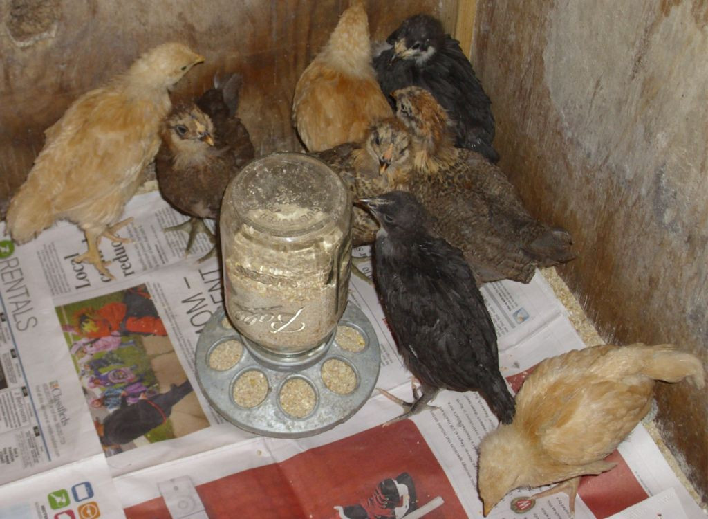 Eight chicks of different types at four weeks.