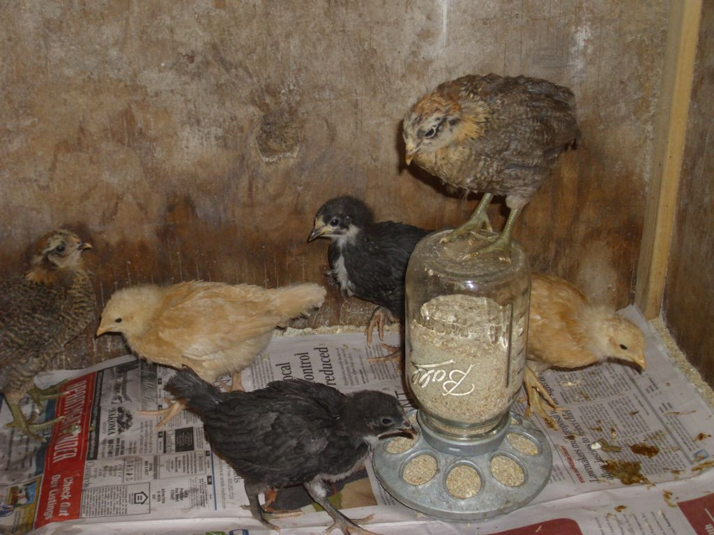 An Americauna chick stands atop the feeder bottle.