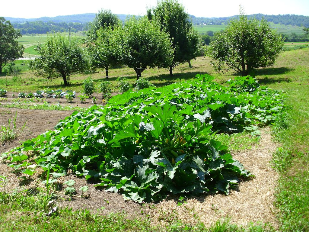 A largish squash patch with chest high squash plants.