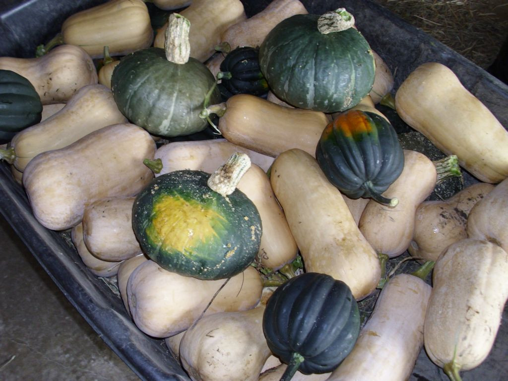 The squash patch produced three kinds of squash in abundance this year.