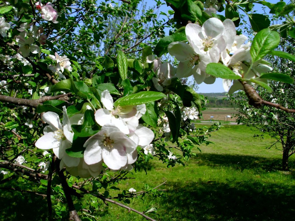 The white blossoms are incredible and the odor is quite strong.